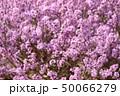 フジモドキ 50066279