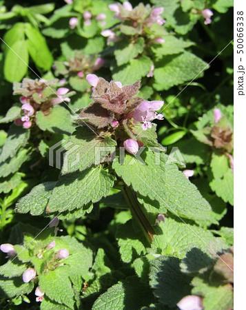 花が踊り子に見えるというヒメオドリコソウの花 50066338