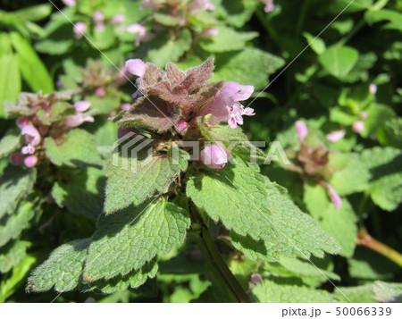 花が踊り子に見えるというヒメオドリコソウの花 50066339