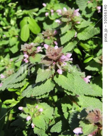 花が踊り子に見えるというヒメオドリコソウの花 50066340