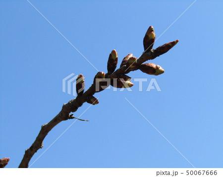 サクラでは咲くのが遅いヤエザクラの桃色の蕾 50067666