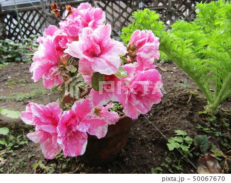 ツツジの改良種アザレアの桃色の花 50067670