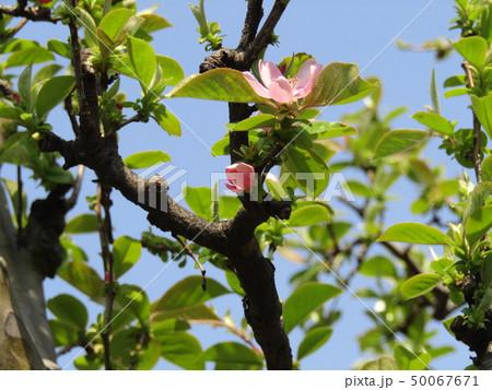 かわいい桃色の花はカリンの花 50067671