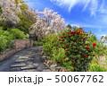 善峯寺 枝垂れ桜 50067762