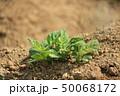 ジャガイモ 畑 芋の写真 50068172