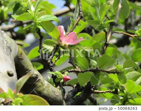 かわいい桃色の花はカリンの花 50068263