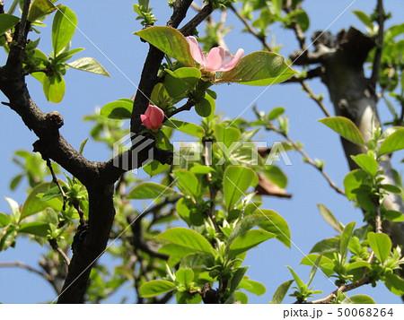 かわいい桃色の花はカリンの花 50068264