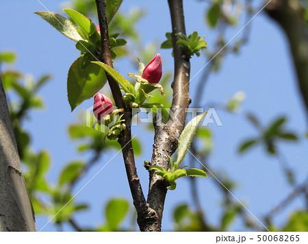 かわいい桃色の蕾はカリンの花の蕾 50068265