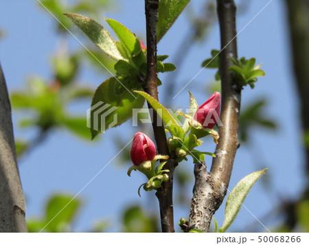 かわいい桃色の蕾はカリンの花の蕾 50068266