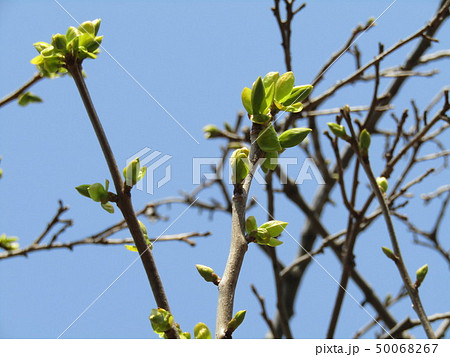 かわいい桃色の蕾はカリンの花の蕾 50068267