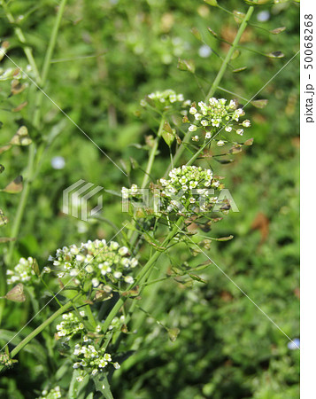春の七草ぺんぺん草の白い花 50068268