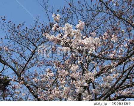 青い空に白い桜はソメイヨシノ 50068869