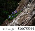 倒木に咲くスミレ 50075544