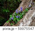 倒木に咲くスミレ 50075547
