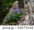 倒木に咲くスミレ 50075548