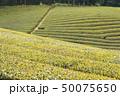茶畑 春 富士市の写真 50075650