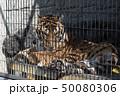 虎 ベンガルトラ 猛獣 50080306