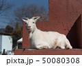 くつろぐ山羊 動物園 飼育 50080308