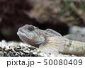 カジカ 鰍 川魚 50080409
