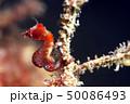 ピグミーシーホース  Hippocampus pontohi Hippocampus severns 50086493