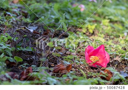 さざんかの花 泉自然公園 千葉県千葉市若葉区 50087428