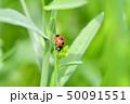 てんとう虫 天道虫 ナナホシテントウの写真 50091551