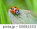 てんとう虫 天道虫 ナナホシテントウの写真 50091553