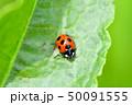 てんとう虫 天道虫 ナナホシテントウの写真 50091555