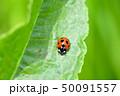 てんとう虫 天道虫 ナナホシテントウの写真 50091557