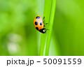 てんとう虫 天道虫 ナナホシテントウの写真 50091559