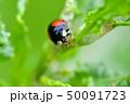 ナミテントウ(二紋型) 50091723