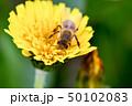 蒲公英と蜜蜂 50102083