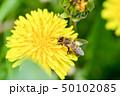 蒲公英と蜜蜂 50102085