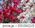 花 ピンク 植物の写真 50104219