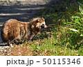エゾタヌキ 哺乳類 動物の写真 50115346