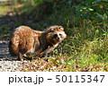 エゾタヌキ 動物 タヌキの写真 50115347