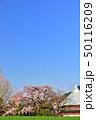 宝殊寺のしだれ桜 50116209