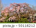 宝殊寺のしだれ桜 50116212