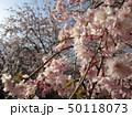 公園の桜 50118073
