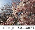 公園の桜 50118074