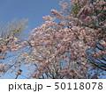 公園の桜 50118078