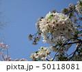 公園の桜 50118081