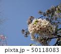 公園の桜 50118083