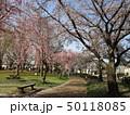公園の桜 50118085