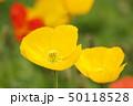 ポピー 花 アイスランドポピーの写真 50118528