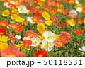 ポピー 花 アイスランドポピーの写真 50118531