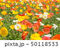 ポピー 花 アイスランドポピーの写真 50118533