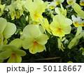黄色い花 50118667