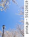 桜 染井吉野 花の写真 50120619