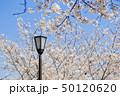 桜 染井吉野 花の写真 50120620